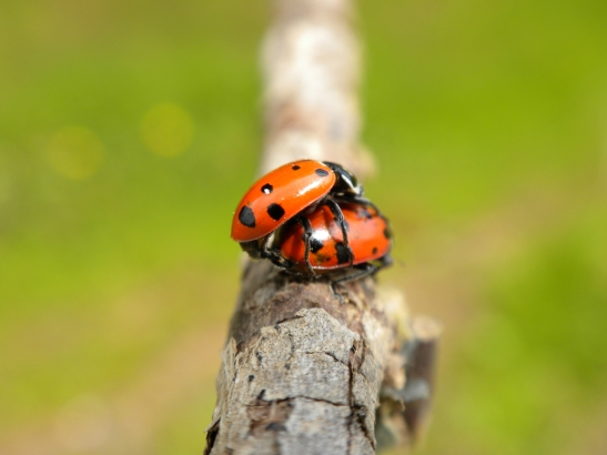 Ladybugs Mating 2